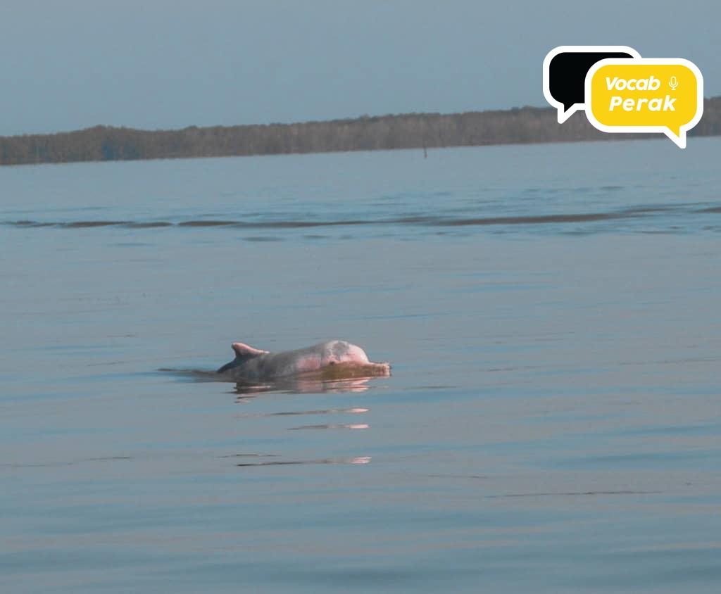 Dolphin Di Taiping Perak?